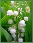 Классикой озеленения тенистых участков считаются культурные сорта ландыша майского с крупными белыми или...