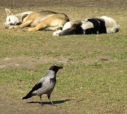 Ворона и собака-12.