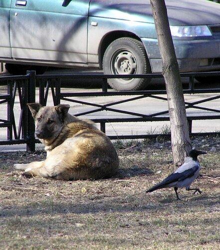 Ворона и собака-5.