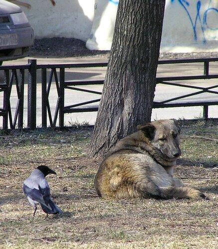 Ворона и собака-2.