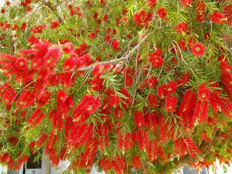 Image result for Каллистемон, дерево и цветки