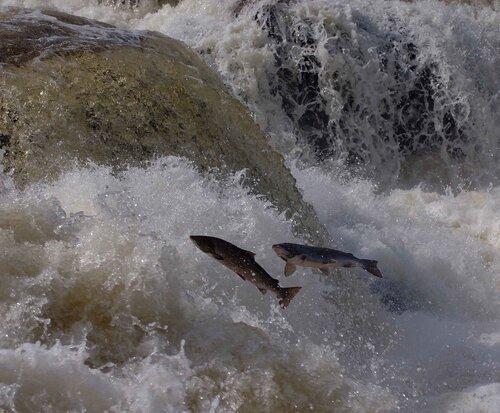 Нерест атлантического лосося