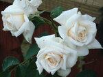 розы...розы...розы!!!