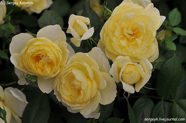 Rosa Vanessa Bell (10).JPG