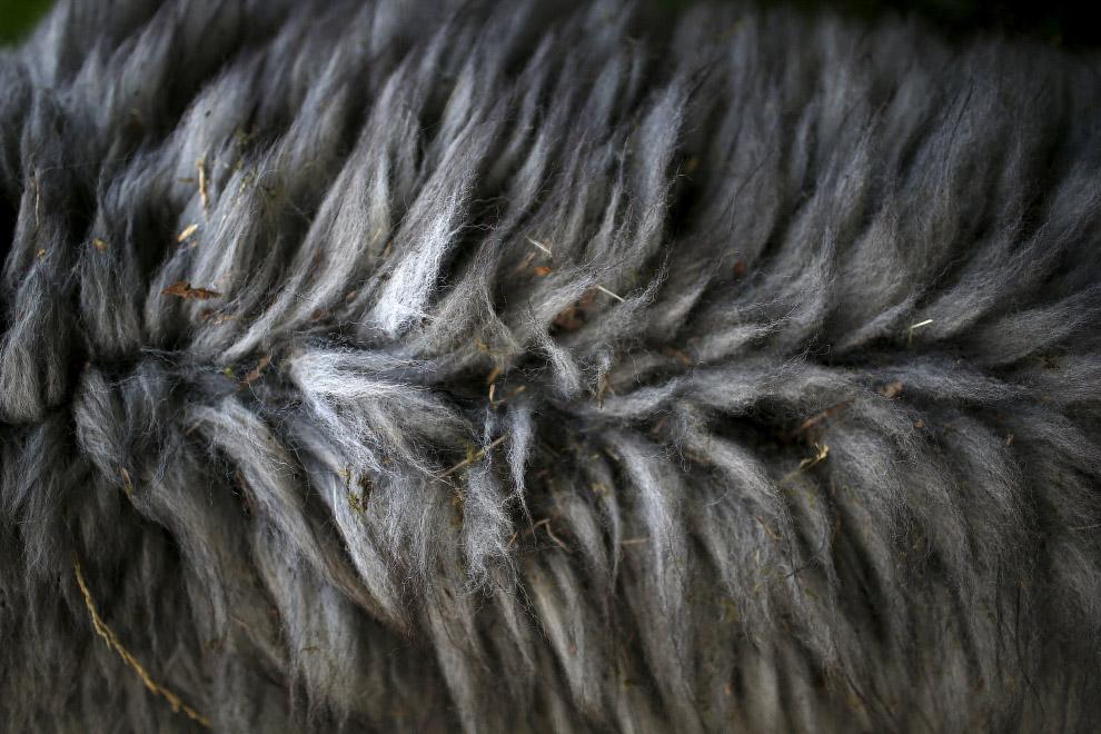 15. Из шерсти альпак делают теплые и мягкие одеяла, пледы и одежду. А из меха — предметы для до