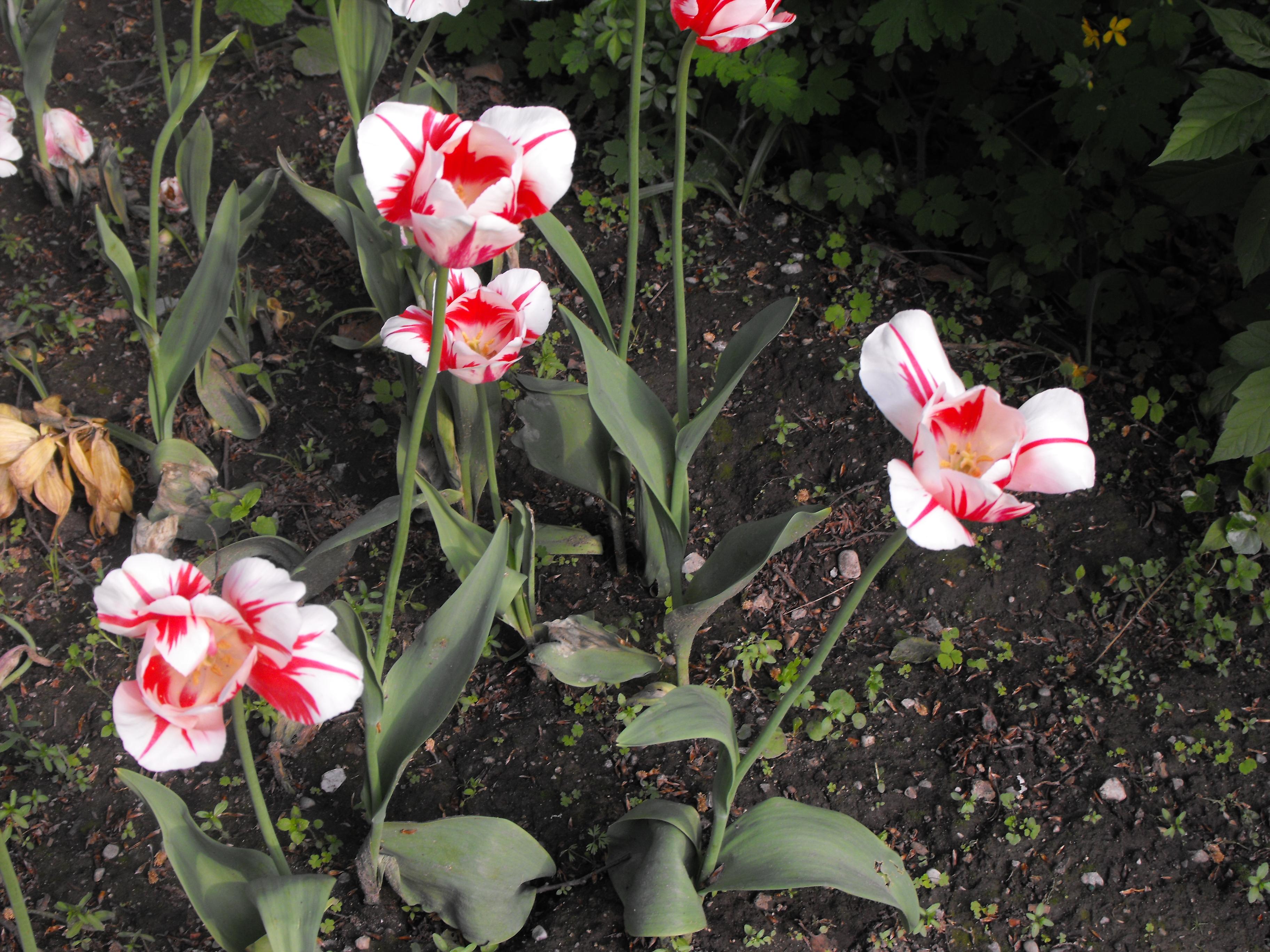 Последние  тюльпаны.