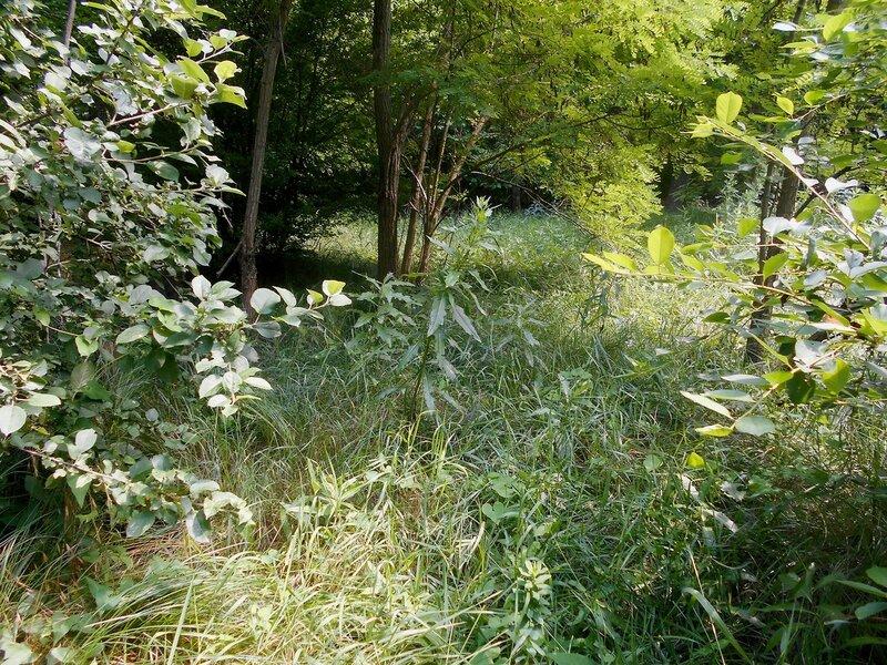 Заросли лесные ... DSCN2571.JPG