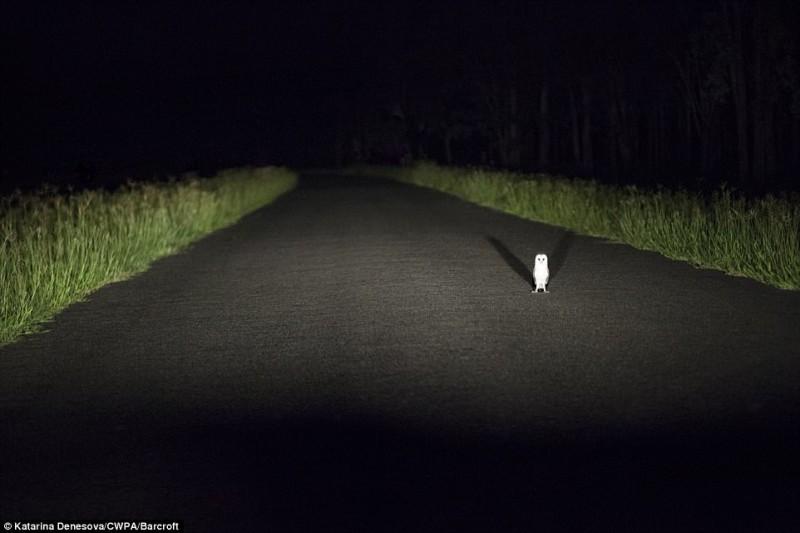 Восточная травяная сипуха останавливает движение. «Остановлены сборщиком дорожной пошлины», Катарина