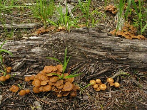 Опенок древесинный (Kuehneromyces lignicola). Слой прошел, но небольшие группы грибов продолжают появляться Автор фото: Станислав Кривошеев