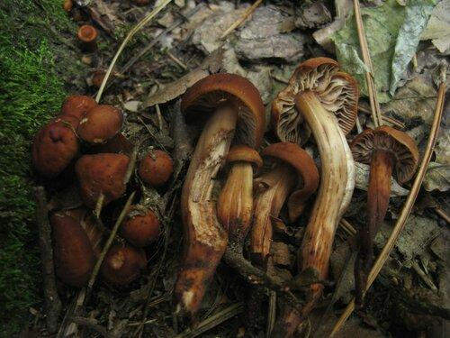 Коллибия веретеноногая (Gymnopus fusipes). В Болгарии при +35 с грибами было туго. Но этому виду, похоже, жара нисколько не мешала. В одном из парках коллибии веретеноногие встречались повсеместно Автор фото: Станислав Кривошеев