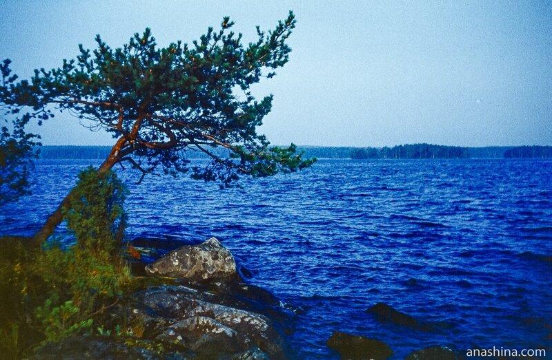 Сосна на берегу, Онежское озеро