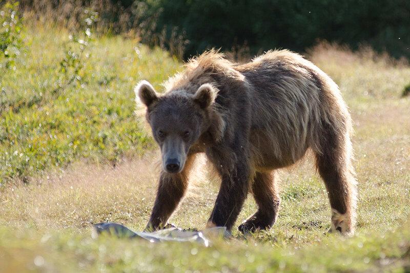 Покормить медведя = убить медведя. Как выжить при встрече с медведем