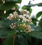 Экзоты - Rondeletia amoena