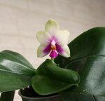 Орхидеи - Phalaenopsis bellina