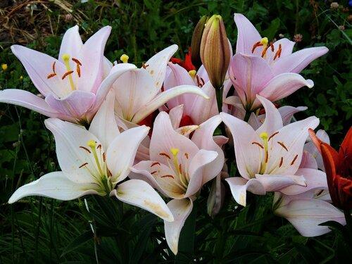 Цветы французских королей