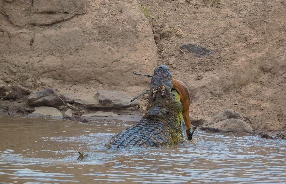 Огромный крокодил перекусил газель пополам