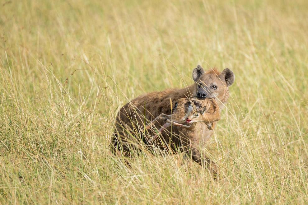 5. Молодой лев, еще грива небольшая. С львом-самцом никто не решится связываться. (Фото Ingo Gerlach