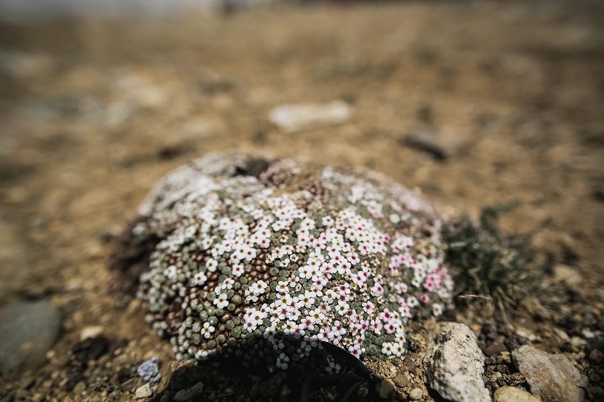 9. Единственные цветочки, которые мы видели на перевале.