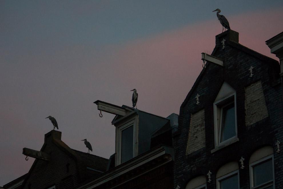 7. В Амстердаме насчитывается около 800 пар цапель в 25 разных колониях. (Фото Julie Hrudova):