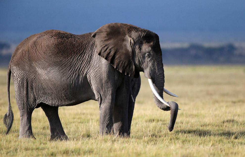 6. Зебры и слон.