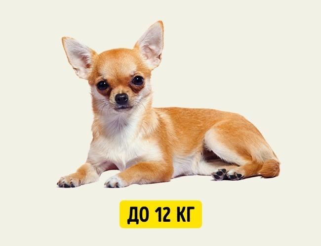 © depositphotos.com  Маленькие собаки живут дольше остальных . Поэтому, хотя они и достигают
