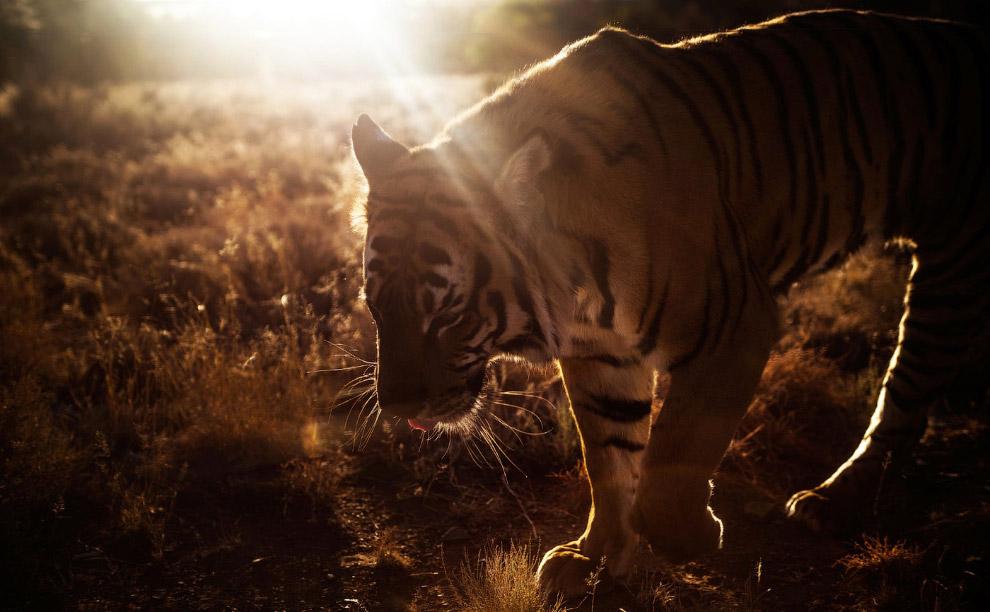 3. Обитает китайский тигр только на территории Китая, а точнее на небольшом ареале в южной част