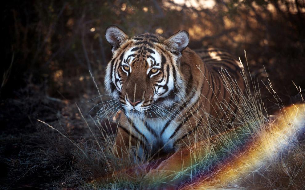 6. Работой по сохранению китайского тигра занимается специально созданный для этих целей благот
