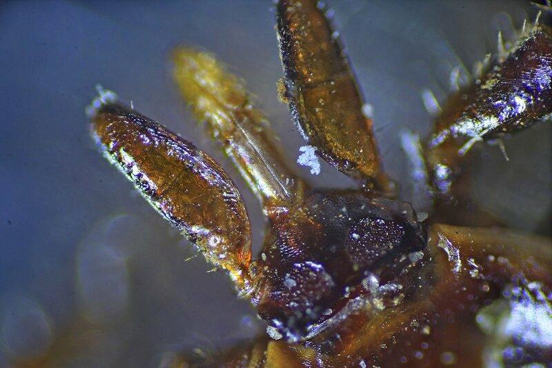 Фотография головы иксодового клеща под микроскопом