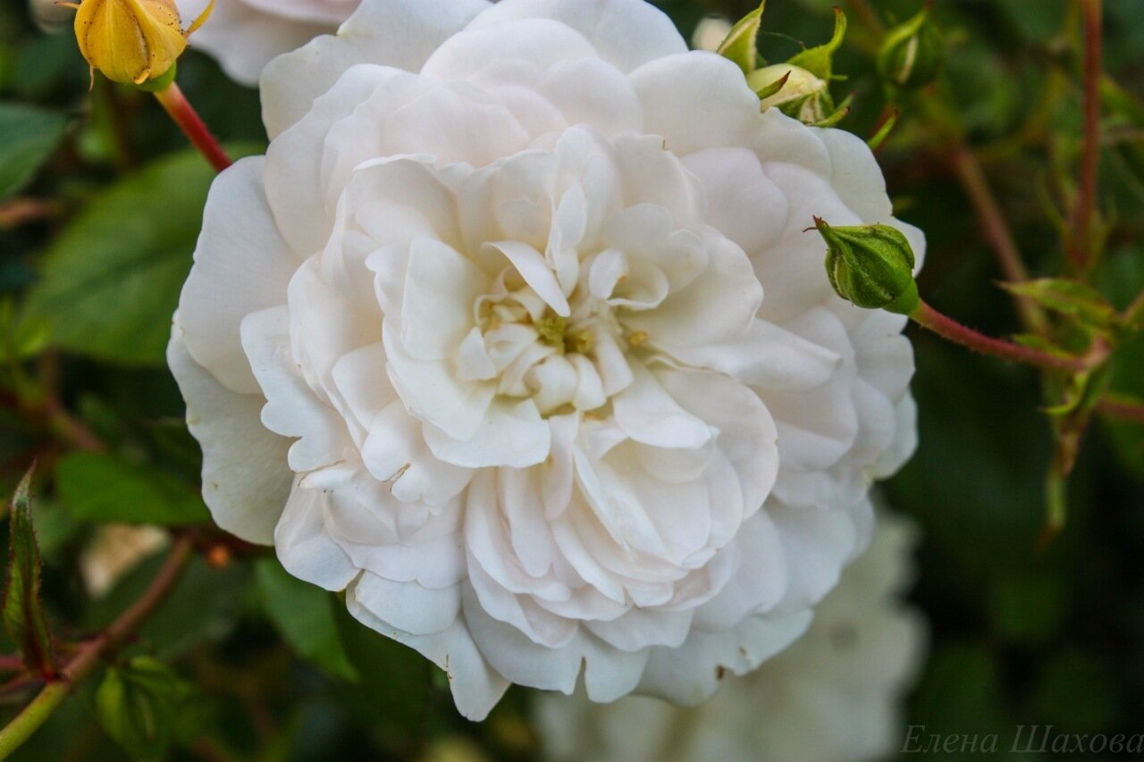 Розы-10.jpg