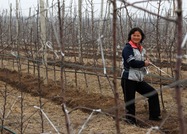 A woman smiles as she works at Daedonggang Fruit Farm, with 125 hectares of apple trees, on the outs