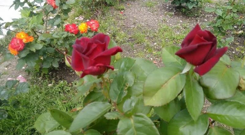 Rose  bordo.