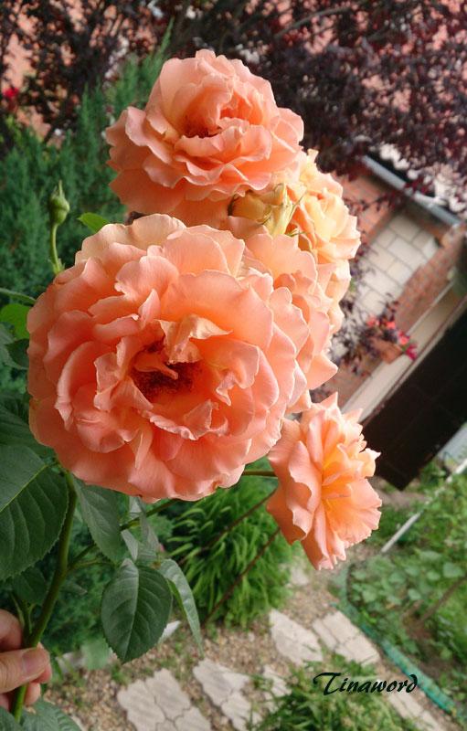 розы-71.jpg