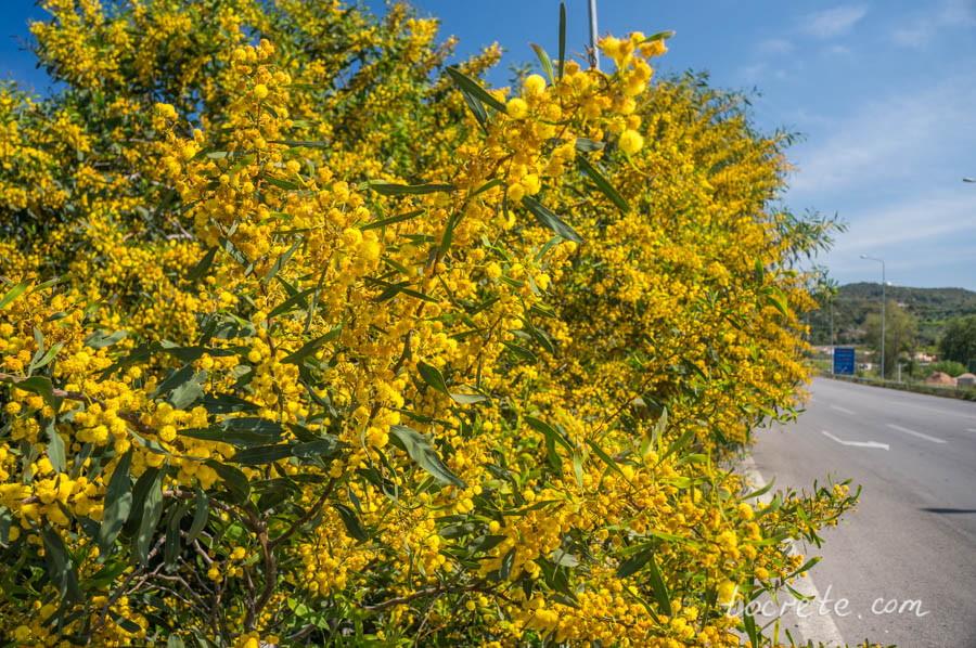 В апреле на Крите всюду цветут мимозы!..