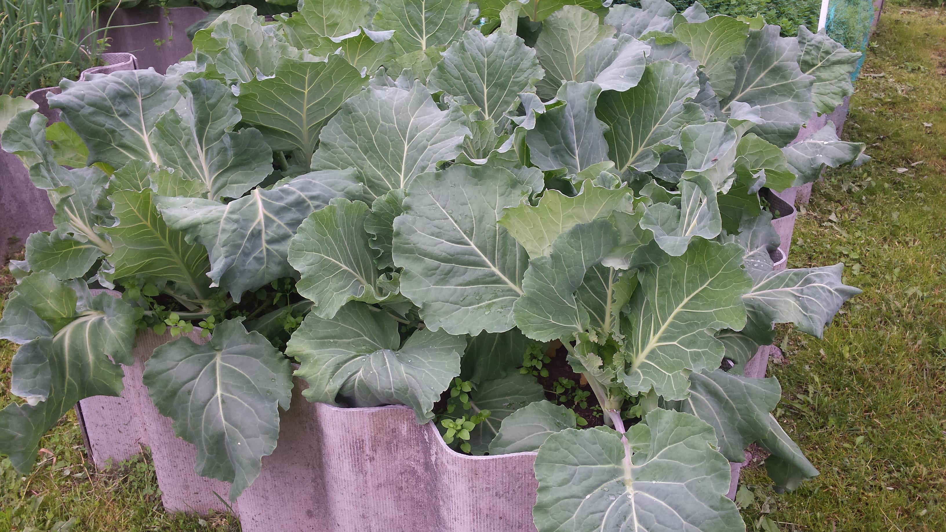 Защита огорода от летающих насекомых вредителей сеткой: 10 плюсов-капуста белокочанная под сеткой со дня высадки рассады