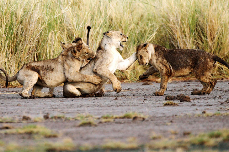 Национальный парк Амбосели в Кении (14 фото)