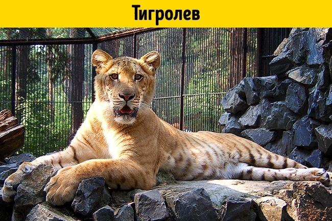 © depositphotos  Это гибрид тигра-самца ильвицы. Также существует тигролев «наоборот»— это с