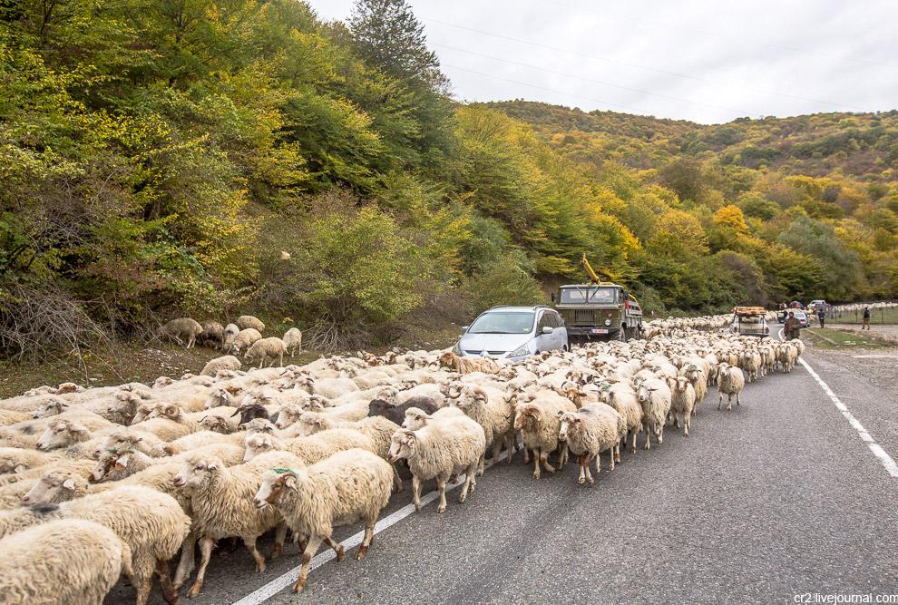 3. Водители сигналят и ругаются, пастухи стараются отогнать стада на обочину, но получается это не с