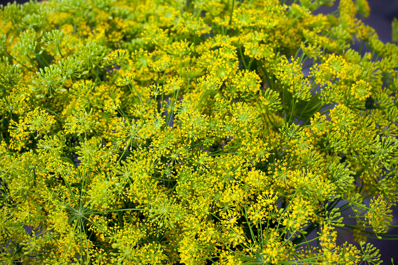 the Fennel flowers are used as a wedding bouquet. Fennel is very popular for a modern bouquet for different occasions.