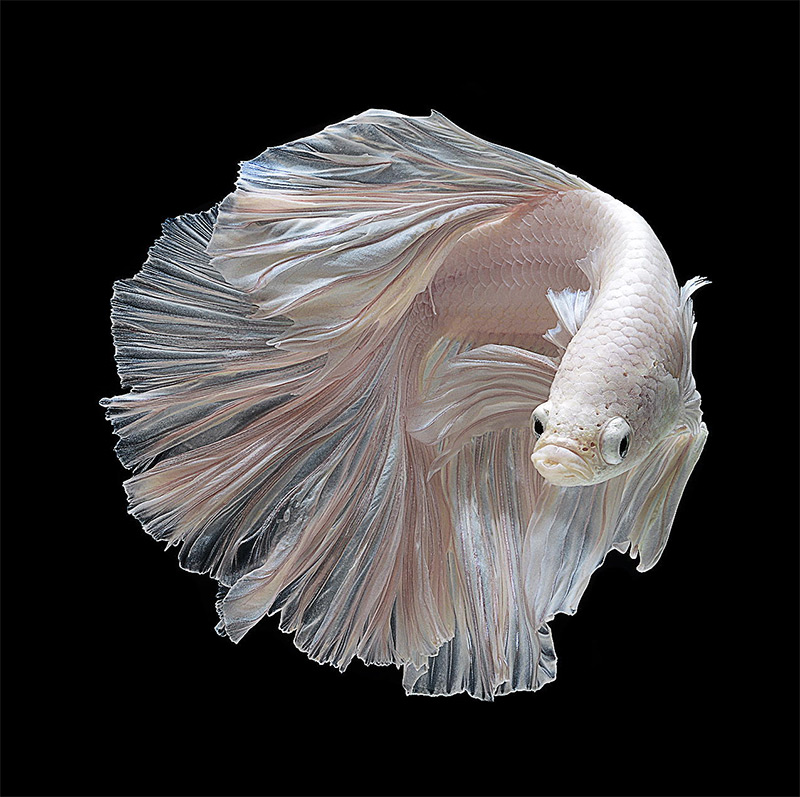 Portraits of Siamese Fighting Fish by Visarute Angkatavanich (7 pics)