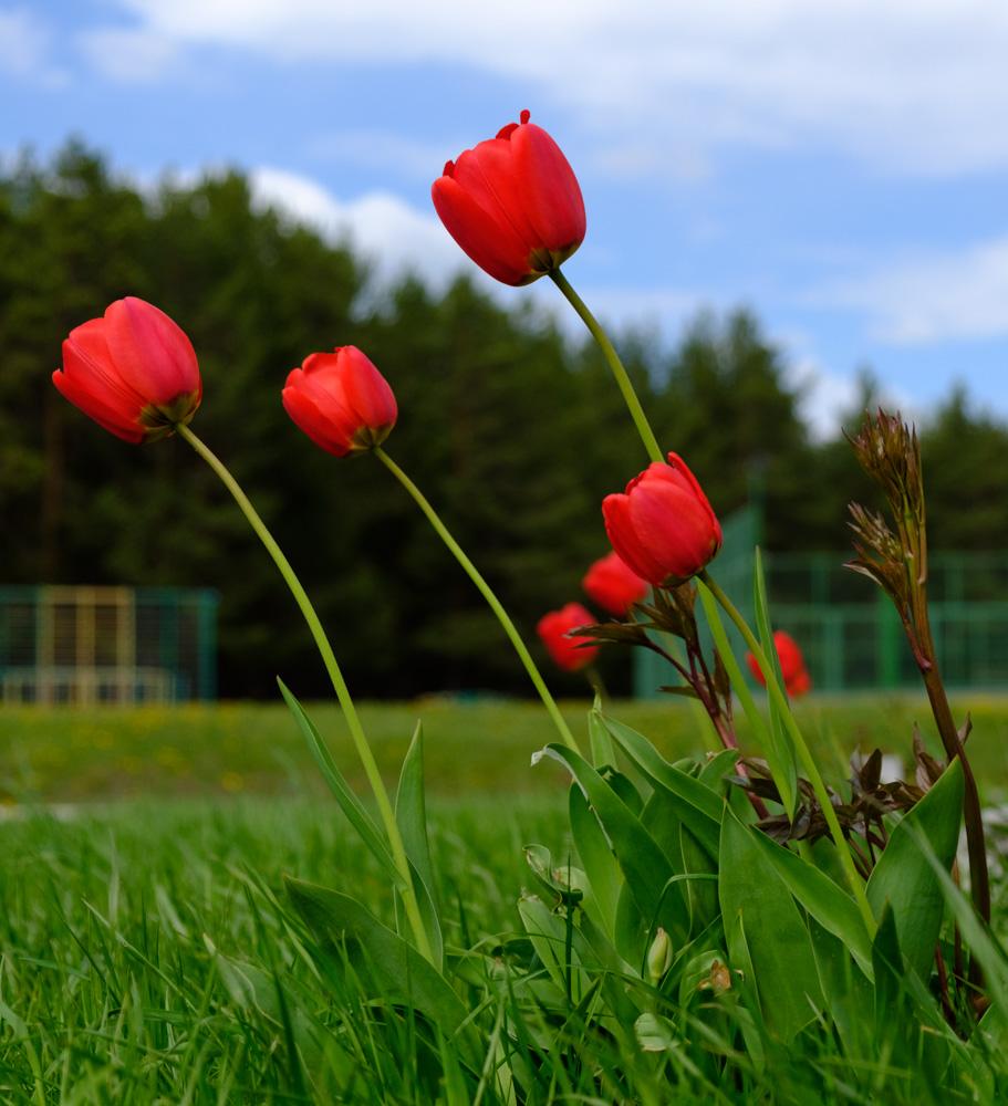 тюльпаны на зеленой траве