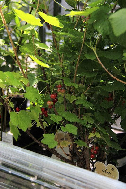 СКИДКИ до 40% на Саженцы плодовые и ягодные (ЗКС)