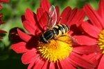 Старостин Дмитрий (рук. Егорова Ольга Александровна ) - Пчела на цветке