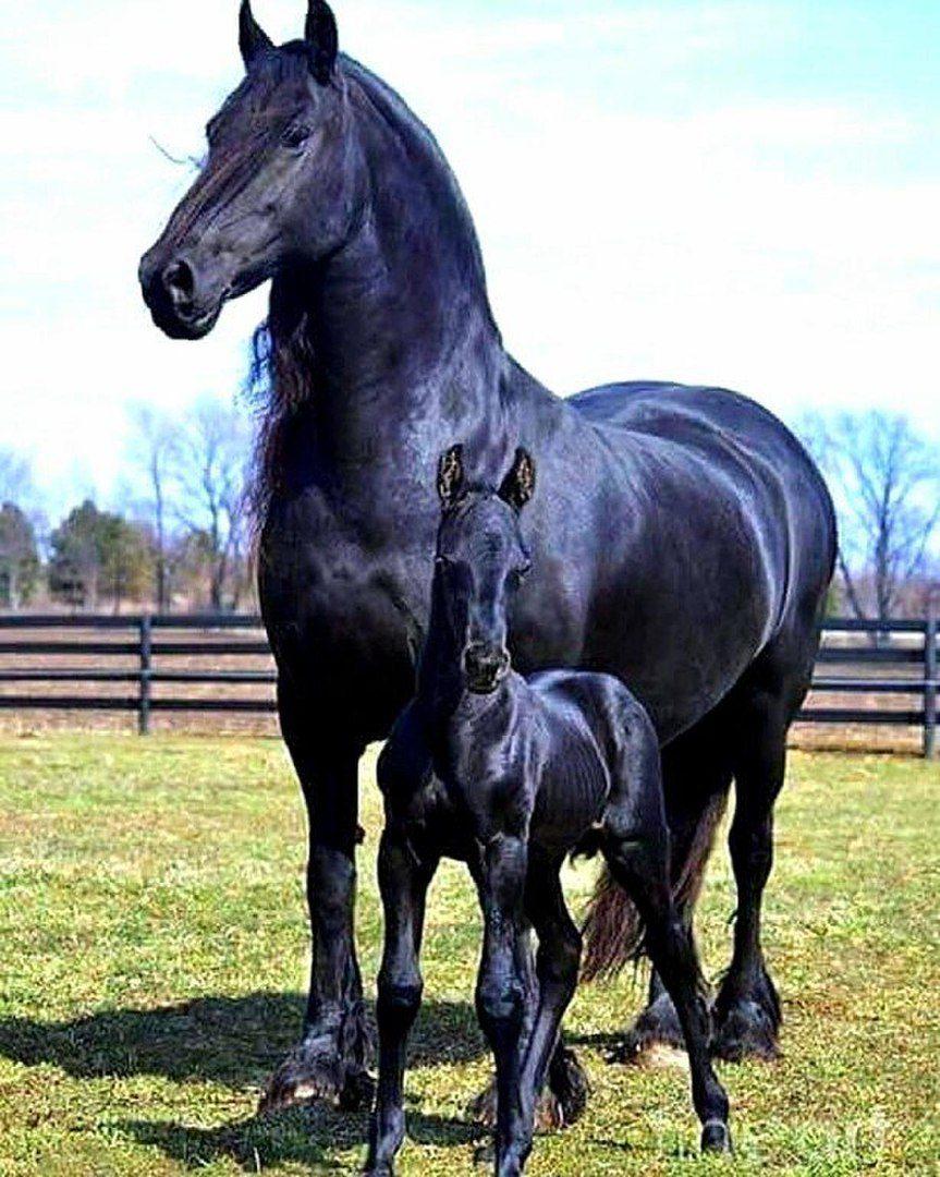 Чёрная лошадь с жеребёнком.