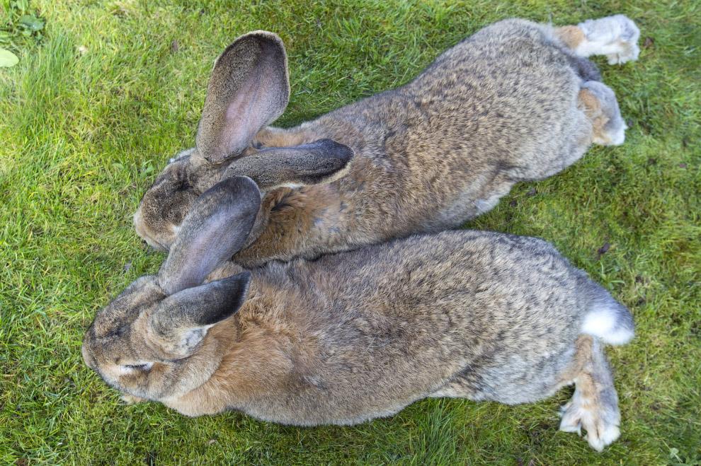3. Кроме того, ежедневно Дарий и Джефф опустошают по большой миске специальной еды для кроликов