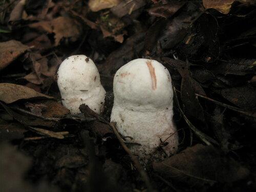 Подосиновик белый (Leccinum percandidum). Альбиносы в этом году у меня растут только в одном месте, но работает это конкретное место очень неплохо Автор фото: Станислав Кривошеев
