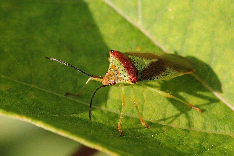 Древесный клоп-щитник зеленого цвета с черными точками на теле, красными шипами на переднеспинке и красными крыльями килевик лиственный, или килевик краснозадый или килевик кровоточивый (лат. Acanthosoma haemorrhoidale)