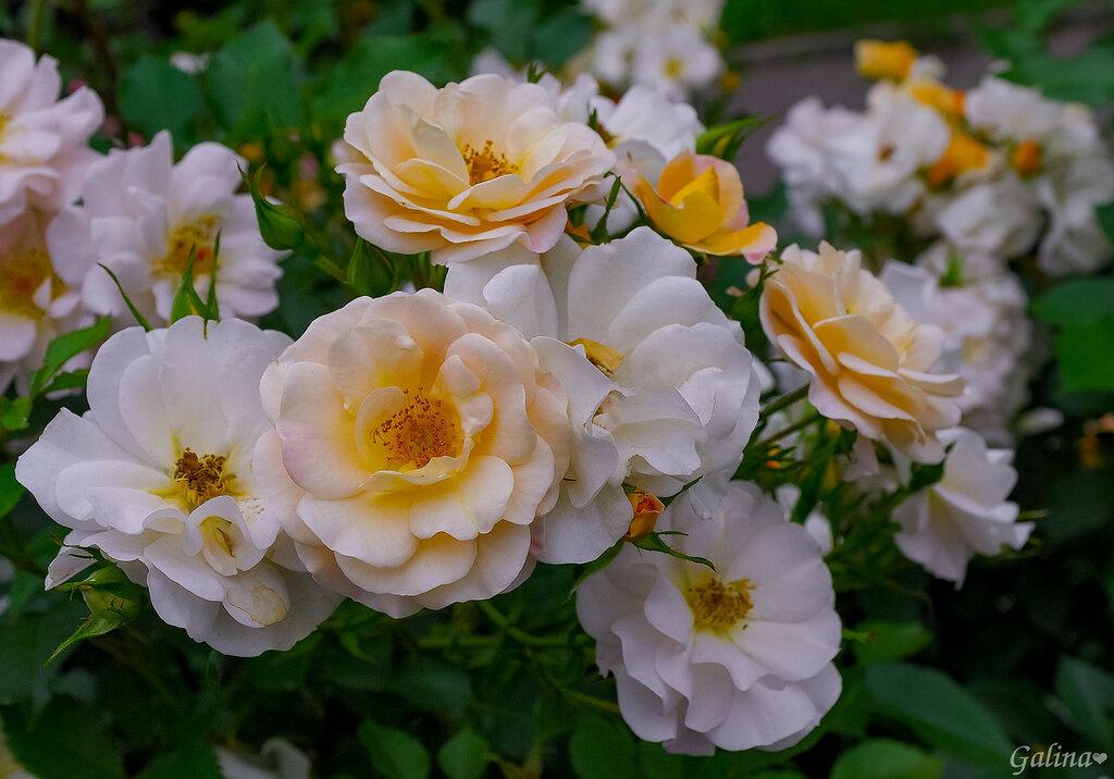Нежность прекрасных роз