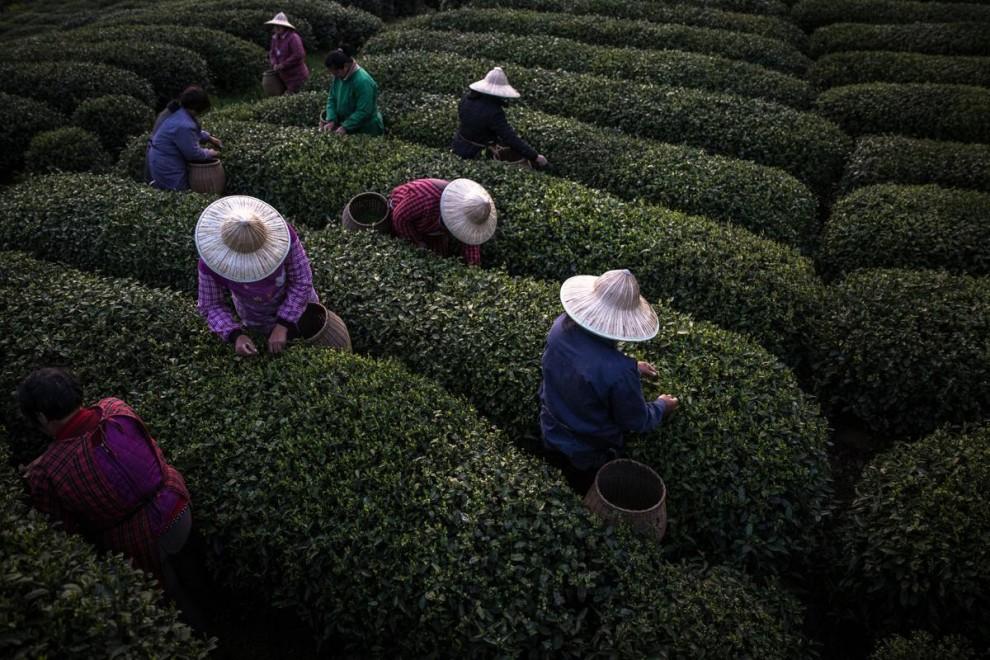 Китайские туристы прогуливаются по чайной плантации в окрестностях города Цзуньи в провинции Гуйчжоу