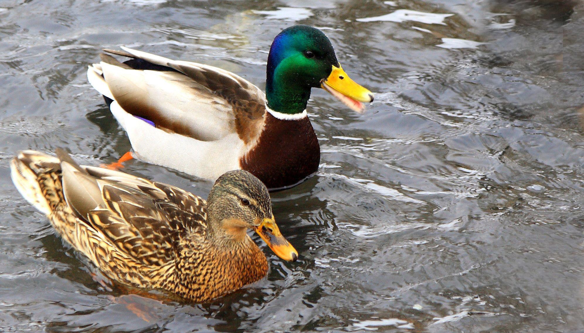 ВТульской области выявлен вирус птичьего гриппа