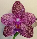 Орхидеи - Phalaenopsis 'Zheng Min Falcon'